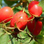 Плоды шиповника;
