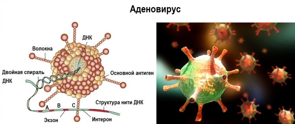 Аденовирусы