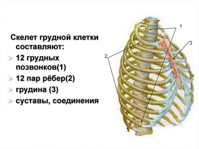 Скелет грудной клетки