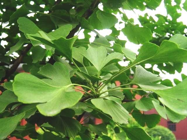 Растение гинкго-билоба