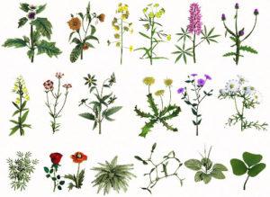 Лечебные травы для лечения аденомы простаты