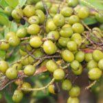 Ягоды от карликовой пальмы