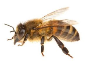 Реакция организма на пчелу